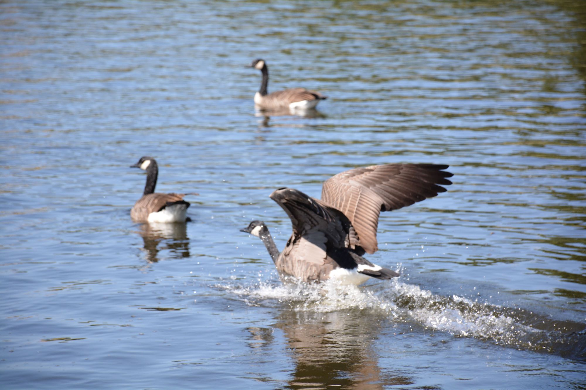 Geese in a pond.